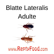 BLATTE LATERALIS ADULTE